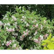 Вейгела квітуча Nana variegata 2 річна, Вейгела цветущая Нана Вариегата, Weigela florida Nana variegata