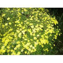 Лапчатка кущова Elizabeth 3 річна, Лапчатка кустарниковая Элизабет, Potentilla fruticosa Elizabeth