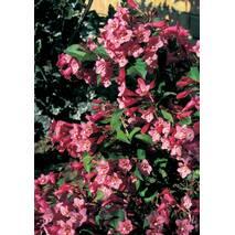 Вейгела квітуча Rumba 3 річна, Вейгела цветущая Румба, Weigela florida Rumba