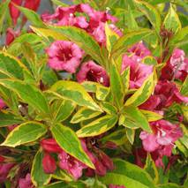 Вейгела квітуча Brigela 3 річна, Вейгела цветущая Бригела ,Weigela florida Brigela