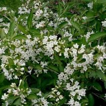 Вейгела квітуча Candida 2 річна, Вейгела цветущая Кандида, Weigela florida Candida