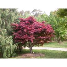 Клен пальмолистний / японський Atropurpureum 80-120см, Клен веерный/пальмолистный Атропурпуреум, Acer palmatum