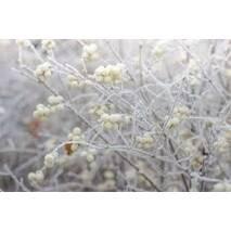 Сніжноягідник округлий Variegata 2 річний, Снежноягодник округлый Вариегата, Symphoricarpus orbiculatus