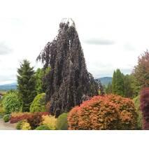 Бук Лісовий Purple Fountain 0,4-0,5м, Бук лесной Пурпл Фонтан, Fagus sylvatica Purple Fountain