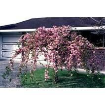 Сакура японська Kiku-shidare на штамбі 1.8-2м, Сакура мелкопильчатая Кику Шидаре на штамбе, Prunus serrulata
