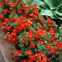 Лапчатка кущова Marian Red Robin 2 річна, Лапчатка кустарниковая Мариан Ред Робин, Potentilla fruticosa