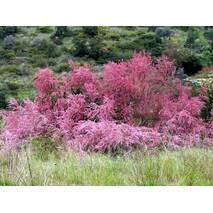 Тамарікс дрібноквітковий / Бісерник 3 річний, Тамарикс мелкоцветный розовый / Бисерник / Гребенщик Tamarix