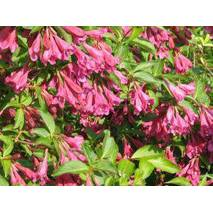 Вейгела квітуча Korea 2 річна, Вейгела цветущая Кореа, Weigela florida Korea