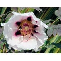 Півонія древоподобна Билла 2 годовая, Пион Древовидный белый, Paeonia x suffruticosa