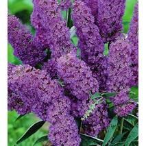 Будлея Давида фіолетова 2 річна, Будлея Давида фиолетовая, Buddleja davidii
