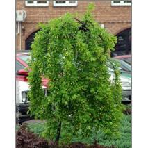 Карагана деревовидна Рendula 3 річна, штамб 1-1,2м, Карагана древовидная Пендула, Caragana arborescens pendula