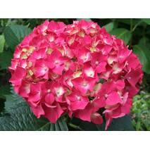 Гортензія крупнолиста морозостійка Forever&Ever Red 2 річна, Гортензия крупнолистная, Hydrangea macrophylla