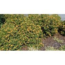 Лапчатка Mango Tango 2 річна, Лапчатка кустарниковая Манго Танго, Potentilla fruticosa Mango Tango