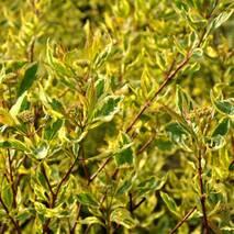 Дерен білий Spaethii 2 річний, Дерен белый Спаети / Шпети, Cornus alba Spaethii.
