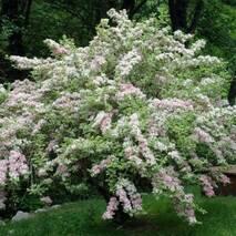 Вейгела квітуча Splendid 2 годовая, Вейгела цветущая Сплендид, Weigela florida Splendid