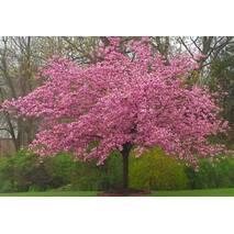 Сакура японська Kanzan 1.5-1.7м, Сакура мелкопильчатая Канзан, Prunus serrulata Kanzan