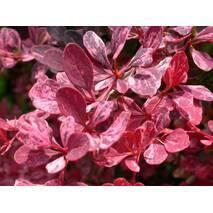 Барбарис Тунберга Rose Glow 3 річний, Барбарис Тунберга Роуз Глоу, Berberis thunbergii Rose Glow