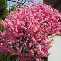 Мигдаль Трилопатевий 2 річний, Миндаль трёхлопастний, Prunus triloba