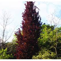 Бук Лісовий Dawyck Purple, Бук лесной Дэвик Пурпл, Fagus sylvatica Dawyck Purple