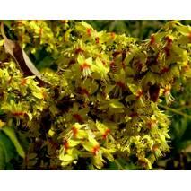 Кельрейтерія 2 річна, Кельрейтерия метельчатая / Мыльное дерево / дерево фонарик, Koelreuteria paniculatа