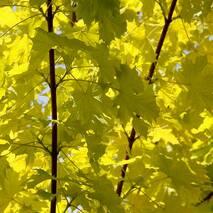 Клен гостролистий Princeton Gold 2-2,3м, Клен остролистный Принсетон Голд, Acer platanoides Princeton Gold