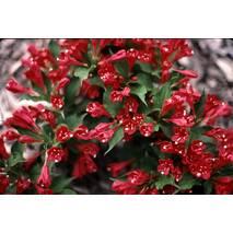 Вейгела квітуча Red Prince 2 годовая, Вейгела цветущая Ред Принц, Weigela florida Red Prince