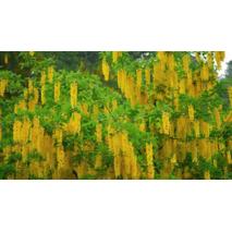 Лабурнум Альпійський / Золотий дощ 1 рік, Золотой дождь альпийский / Бобовник альпийский, Laburnum alpinum