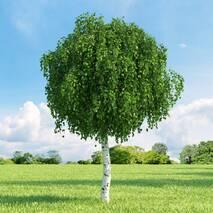 Береза повисла 2 годовая, Береза повислая, Betula pendula