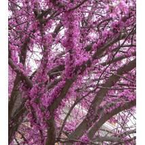 Церціс канадський 2 річний, Церсис канадский / иудово дерево, Cercis canadensis