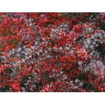 Барбарис середній Red Jewel 2 річний, Барбарис средний Ред Джевел, Berberis media Red Jewel