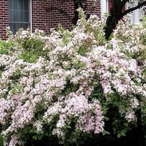 Вейгела квітуча Splendid 4 річна, Вейгела цветущая Сплендид, Weigela florida Splendid