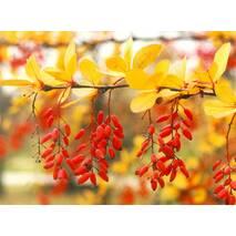 Барбарис звичайний їстівний 3 річний, Барбарис обыкновенный съедобный, Berberis vulgaris