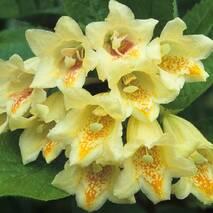 Вейгела Міддендорфа 2 річна, Вейгела цветущая Миддендорфа, Weigela florida middendorffiana