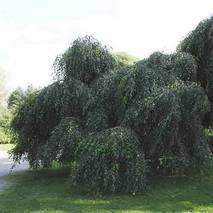 Береза повисла Youngii 3 годовая, Береза плакучая Юнги, Betula pendula Youngii