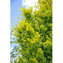 Бук Лісовий Dawyck Gold 0,7-1м, Бук лесной Дэвик Голд, Fagus sylvatica Dawyck Gold