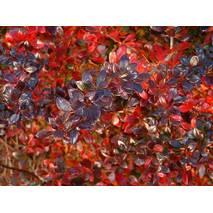 Барбарис средний Red Jewel 3 годовой, Барбарис средний Ред Джевел, Berberis media Red Jewel