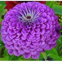 Цинія Карликова Фіолетова за 0,2 г (ЕНК-651)