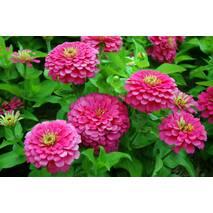 Цинія карликова Рожева за 0,2 г (ЕНК-650)