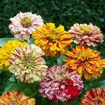 Цинія суміш Вальс квітів за 0,5 г (ЕНК-606)