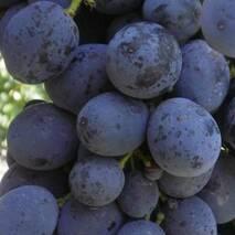 Саженцы винограда Сфинкс