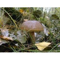 Подберёзовики грибы