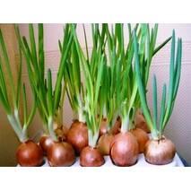 Домашня гідропонна установка для вирощування зеленого лука ЧУДОРІСТ