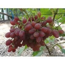 """Саджанець винограду """"Велес"""""""