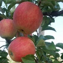 Яблуня Пінова (ІЯБ-7)