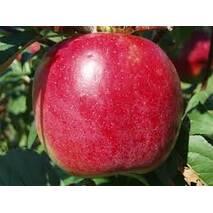 Яблука Ерлі Женева