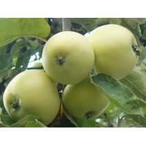 Яблука Папіровка на експорт