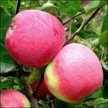 Яблука Слава Переможцям на експорт