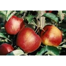 Яблука Аскольда