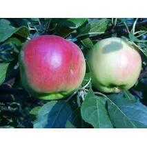 Яблука Прима