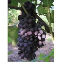 """Саджанці винограду сорту """"Кишмиш Юпітер"""", США"""